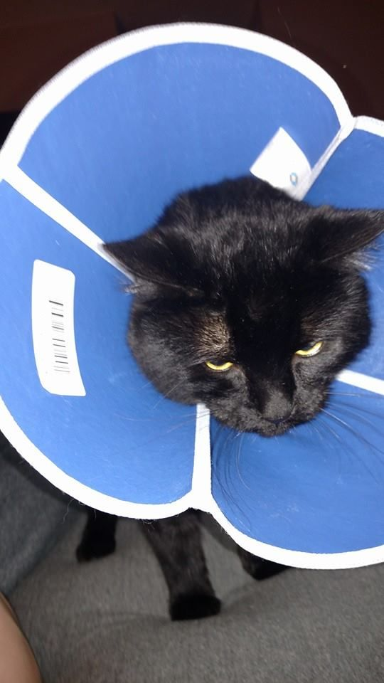 Foster Cat Jack Is Not Happy With His Lamp Impression Rescuecatsrock Adoptdontshop Cat Cats Catsoftwitter Lamp Foster Cat Cat Rescue Cats