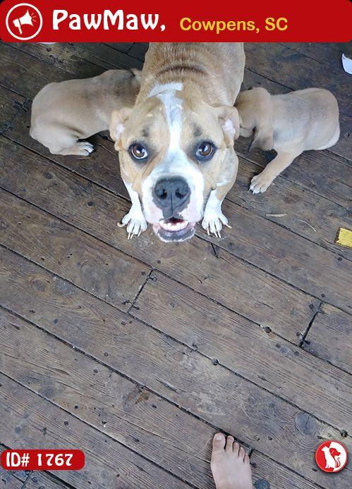 Help Camlli Is Lost Losing A Pet Old English Bulldog Pets