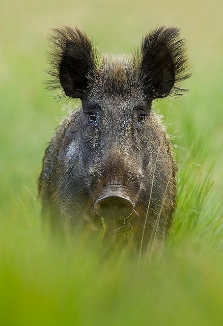 Wild boar, my grandma was chased by one, she was 72yrs. old and climbed up a tree to get away from it .