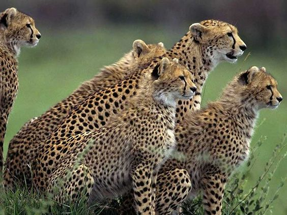 Leopard Gallery, Images, Pics, Photos, Pictures, Photography