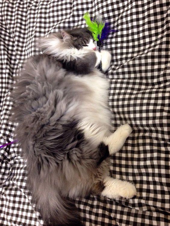 Hyne, Norwegian Forest Cat おもちゃを抱っこして寝るハイネ