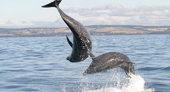 Golfinhos se reconhecem por nomes individuais  | #AssobioDeAssinatura, #Comunicação, #Golfinho, #NomesPróprios, #Som, #UniversidadeStAndrews