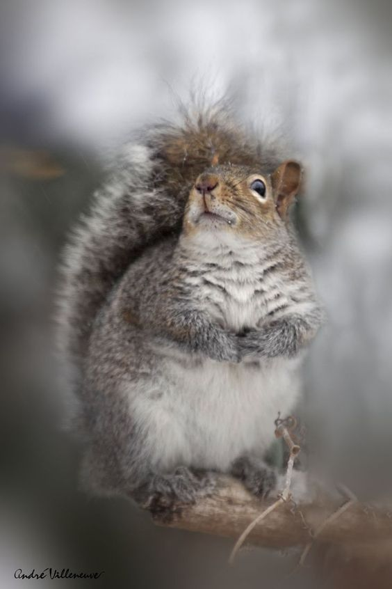 Gray Squirrel: