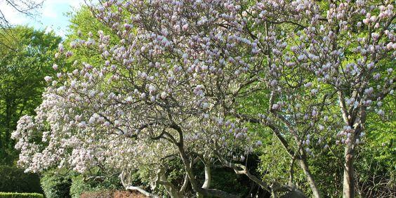 DRØMMEDEJLIGE MAGNOLIA - Magnolia 'Satisfaction'