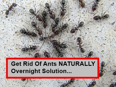 how to get rid of red ants outside