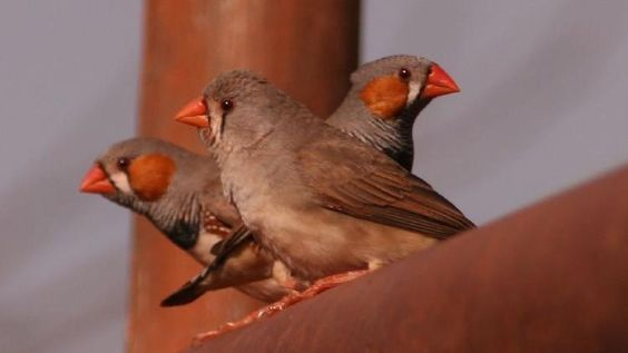 Scientists have found that drunk birds slur their songs, just like humans do when intoxicated. Researcher said that speech impairment is one