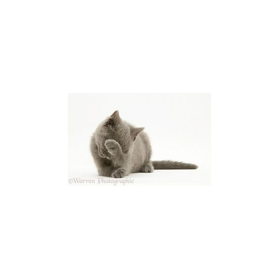 British Shorthair blue kitten ❤ liked on Polyvore featuring home, home decor, cat home decor, blue home decor, blue home accessories and british home decor