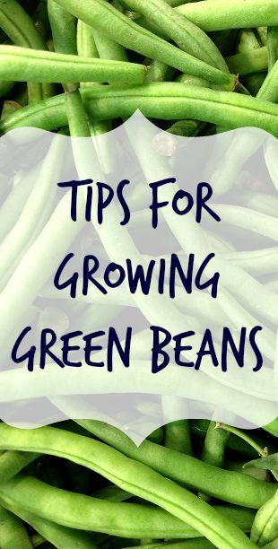 Ready to start growing green beans? Here are some tips to get started, including what pests to protect against and diseases common to the green bean.