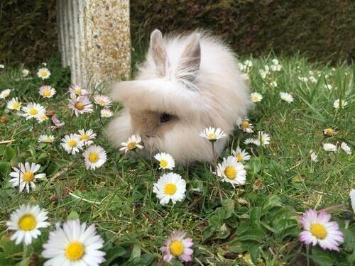 Uber Das Lowenkopfkaninchen Ein Liebenswertes Haustier My Animals Lowenkopf Kaninchen Kaninchen Haustier