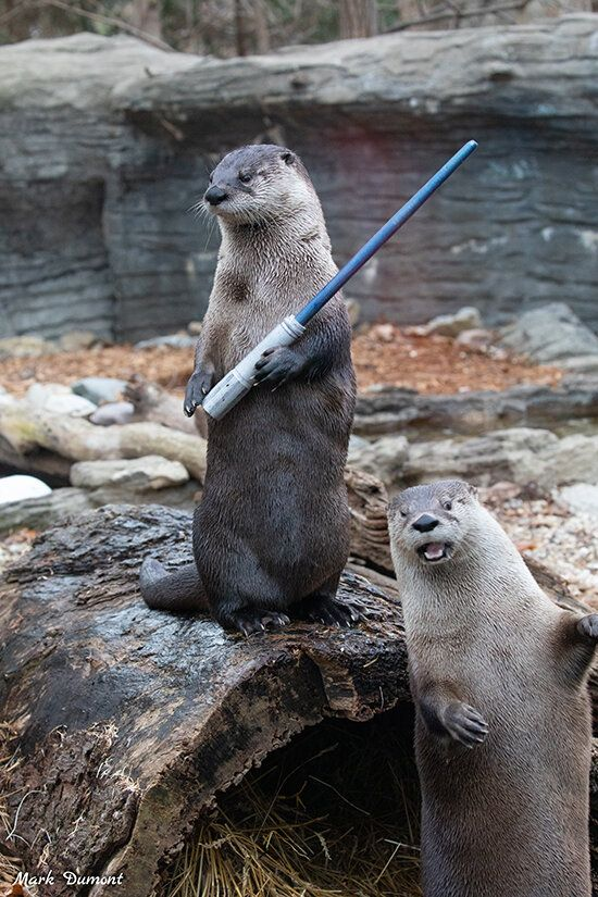 Funny Otter Pictures : funny, otter, pictures, Prankster, Otter, Photobombs, Friend,, Moonwalks, Frame, Daily, Otters, Funny,, Cute,