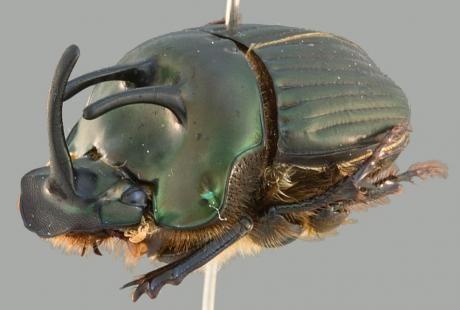 "Phanaeus bispinus - ""rola-bosta"""