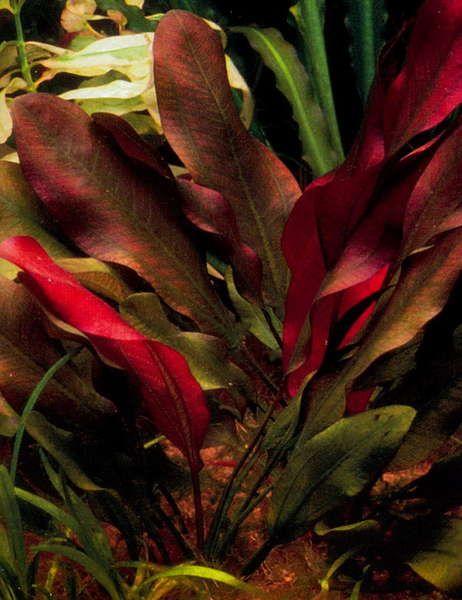 Картинки по запросу Echinodorus cordifolius red