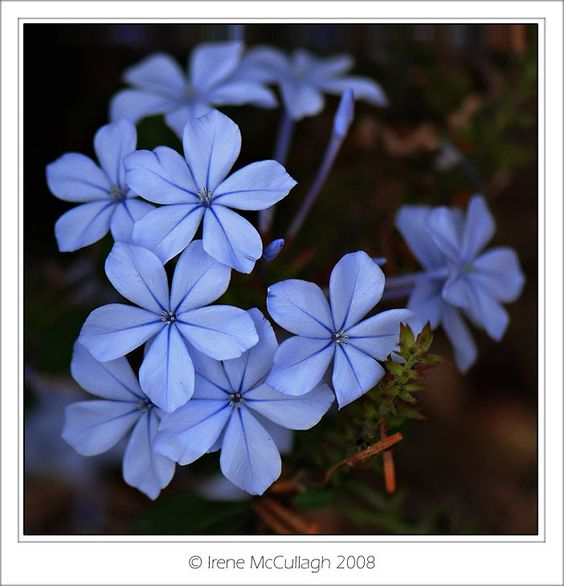 blue plumbago by irene mcCullagh..
