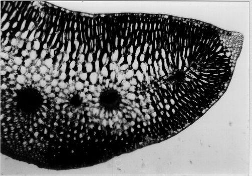 Querschnitt durch ein Blatt des Strandwegerichs, 40 X. Äquifacial, allmählicher Übergang des mehrreihigen Palisadengewebes in das Schwammgewebe, Leitbündel mit deutlicher Parenchymscheide, sklerenchymatisches Gewebe.