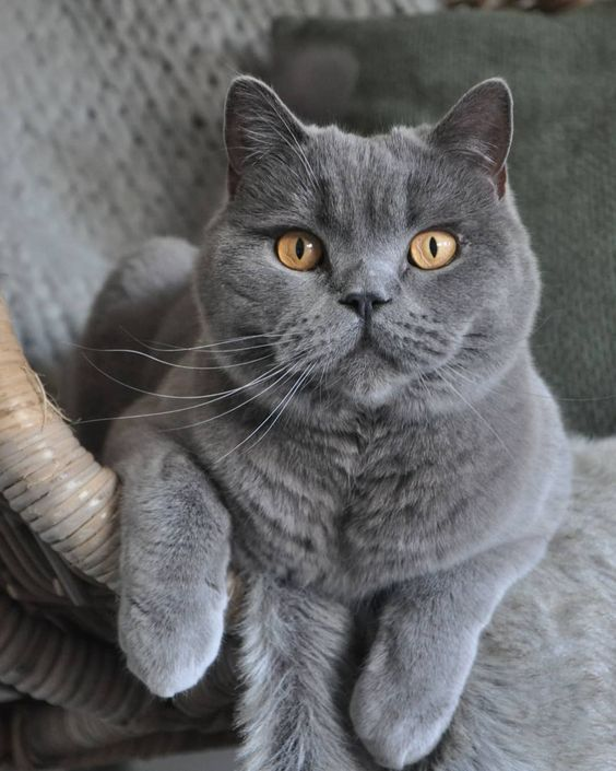 The Top 10 Smartest Cat Breeds In The World Cattime British Shorthair Kittens Cat Breeds Cats And Kittens
