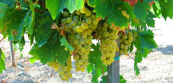 Cyprus Wines, Fikardos Winery in Pafos - Xinisteri, the last grape variety to harvest.