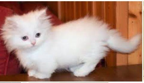 Fluffy Munchkin P Munchkin Kitten Munchkin Cat Cute Cat Gif