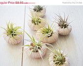 Pink Sea Urchin and Air Plant Duo