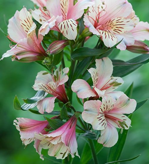 Alstroemeria Peaches And Cream This Beautiful Alstroe Is More Like An Orchid With It S Soft Apricot Flowers And Flower Seedlings Alstroemeria Flower Spike