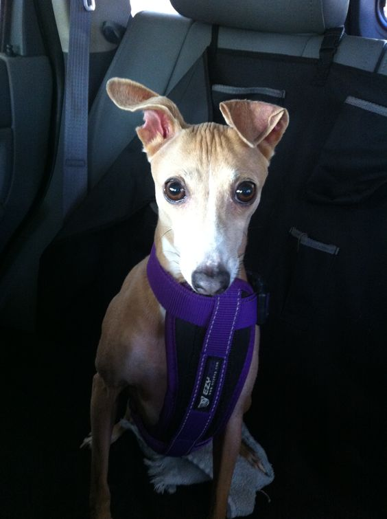 Bree Bree Italian Greyhound