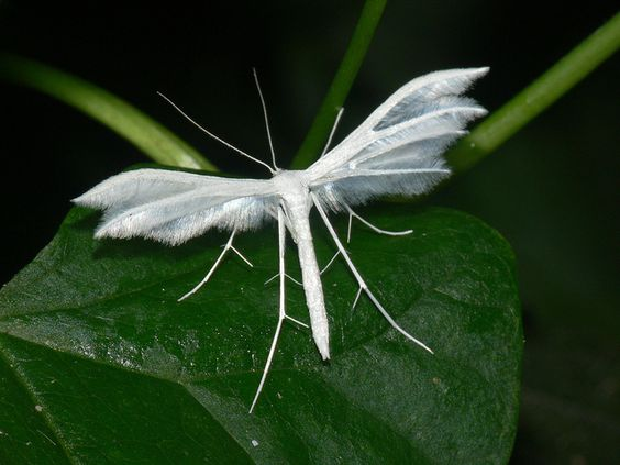White Plume Moth (Pterophorus pentadactyla) by bramblejungle, via Flickr: Insects Galore, Incredible Insects, Amazing Insects, Bugs Insects Moth, Butterflies Insects, Beautiful Moths, Butterflies And Moths