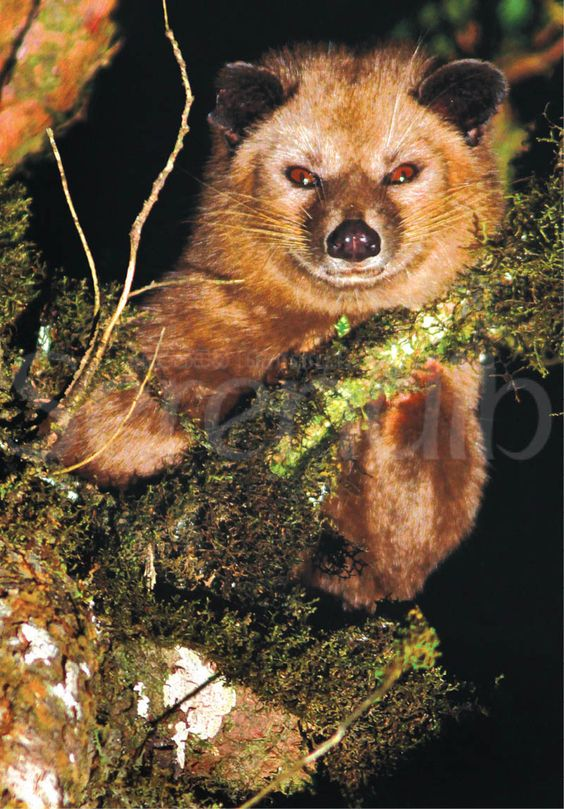 Golden Palm Civet Cat - the highland kind.The first time that this creature was captured in a photograph in the wild.