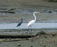 Al igual que en otras bahías, la fauna más desarrollada está compuesta principalmente por el grupo de las aves e invertebrados; estos últimos son los mejor adaptados a vivir entre la interfaz mar-tierra. Garza negra y garza blanca.