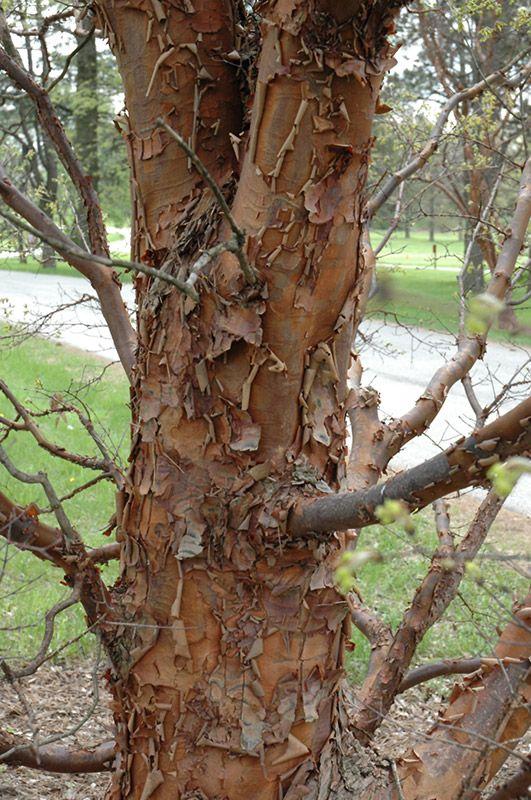 Paperbark Maple Acer Griseum At Wedels Nursery Florist