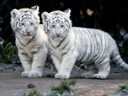 this one kills me... white tigers are my absolute fave... and totally worth the trip to Busch Gardens to see them