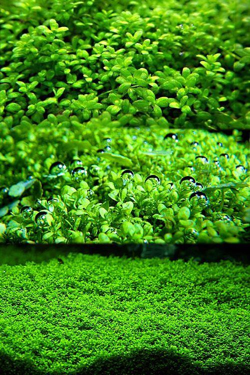 گیاه آکواریومی همیانتوس کوبایی
