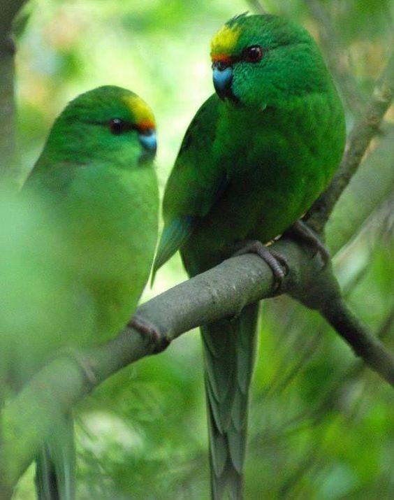 Kakariki endangered New Zealand parrot