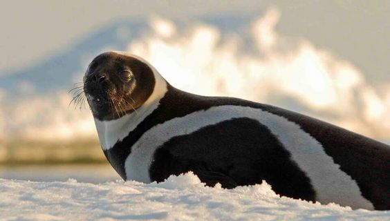 Rare Artic ribbon seal