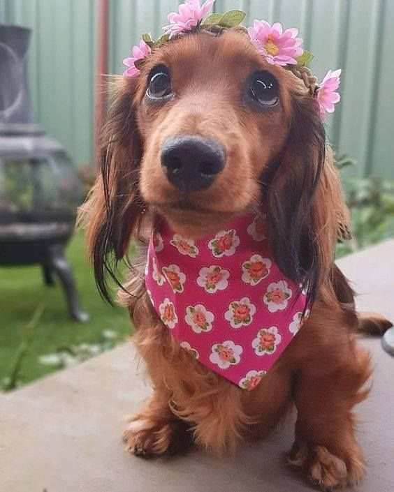 Pin By Sweet Bee Tea On Doxie Love Sausage Dog Puppy Dachshund