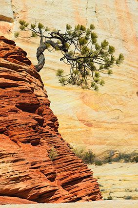 Bent Pine Tree, Zion National Park, Utah: