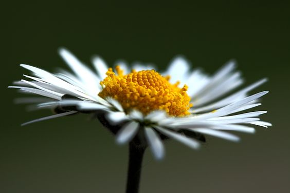 Photos100cibles par Clo...: Bellis perennis...la beauté éternelle..
