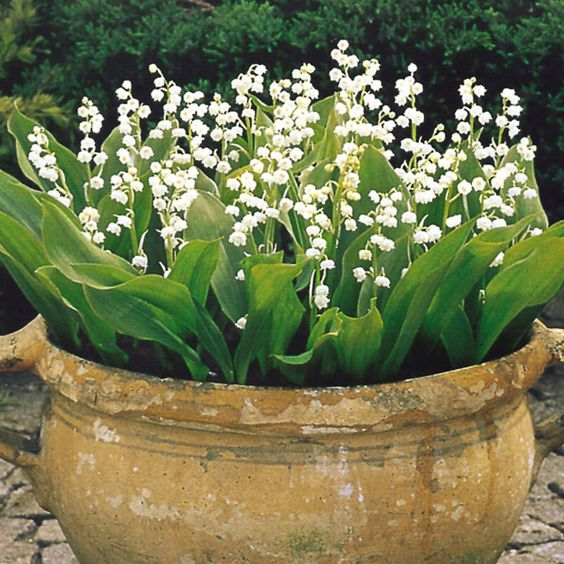 Lily of the Valley - this is a great idea if you don't want them to spread in your garden.