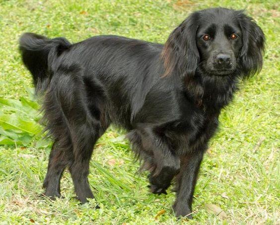 Lily - ADOPTED! Dog • Cocker Spaniel & Labrador Retriever ...  Lily - ADOPTED!...