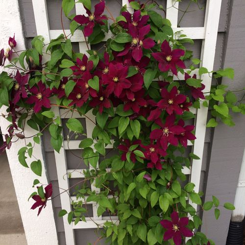 Going A Little Crazy With Clematis Finegardening Clematis Container Flowers Clematis Jackmanii