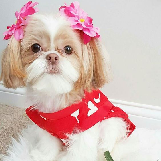 Follow us if you are Shih Tzu lover! To be featuredFollow usTag us #shihtzucorner Photo owner: @lunaandshiro by shihtzucorner