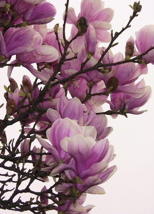 pink magnolia flower deep - photo #18