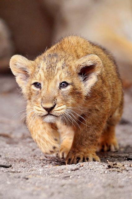 Walking lion cub by Tambako the Jaguar on Flickr.