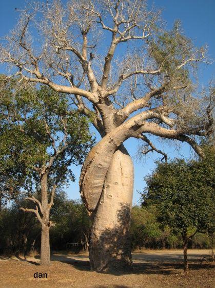 inséparables baobabs