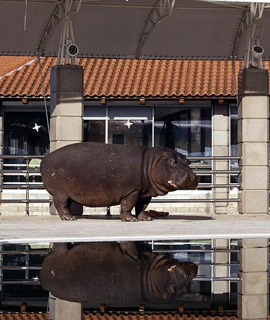 hippo, nikica | hippopotamus called Nikica stands beside the swimming pool in the ...