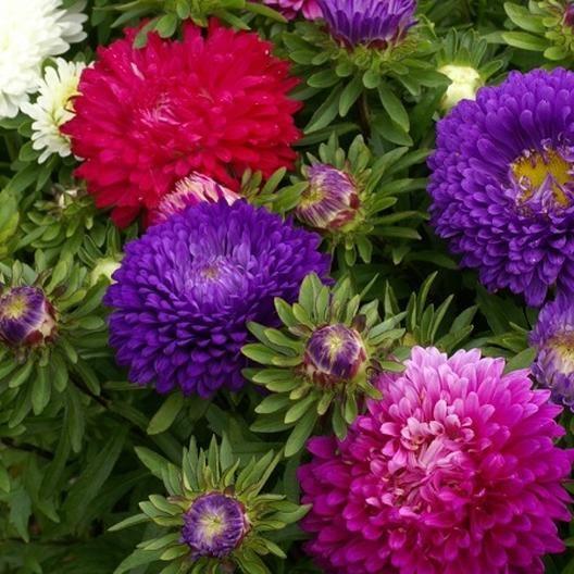Aster Seeds Dwarf Colour Carpet Mix Flower Seeds Flower Seeds Online Fall Purple