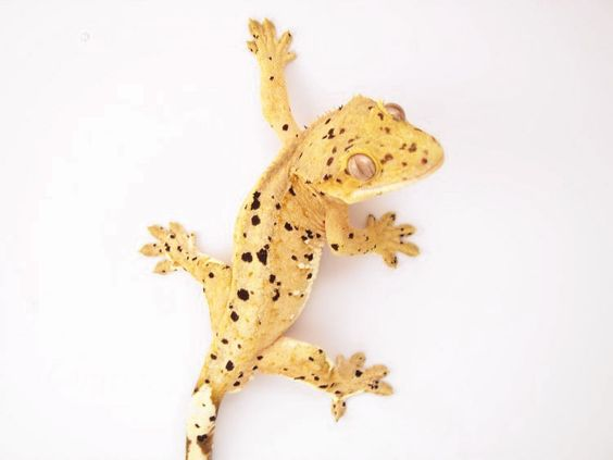 Crested gecko, Babies ...