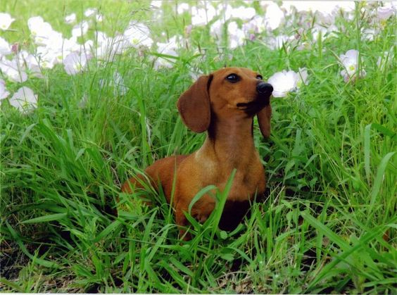 Kristal Dachshunds 1 Doxie Puppies Dachshund Cute Animals