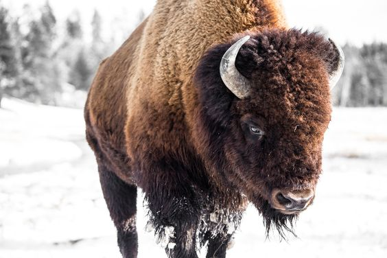 American Bison, Winter in Yellowstone National Park (pinned by haw-creek.com)