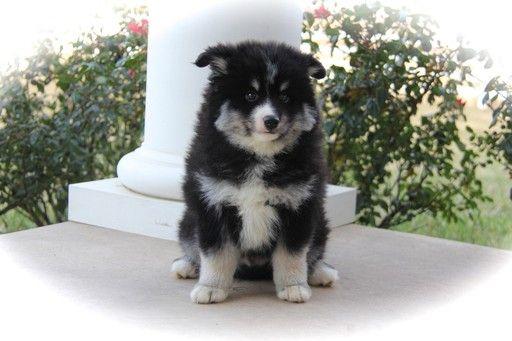 Pomsky Puppy For Sale In Krum Tx Adn 58456 On Puppyfinder Com Gender Male Age 12 Weeks Old Pomsky Puppies Pomsky Puppies For Sale Puppies For Sale