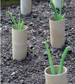 Young organic leeks with recycled toilet rolls placed around them to help with blanching