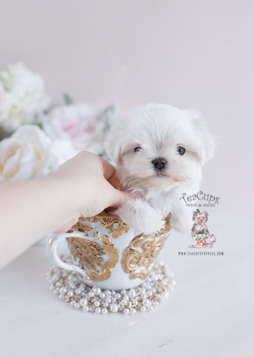 Adorable Maltese Puppy By Teacupspuppies Com Maltese Puppy